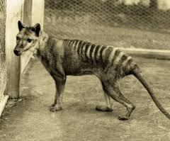The actual Tasmanian Tiger.